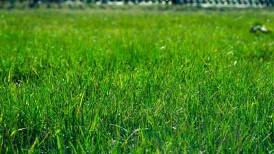 Pour une pelouse en santé aidez-la à résister aux vers blancs